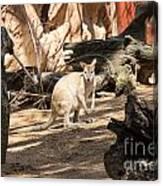 Young Kangaroo Canvas Print