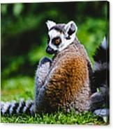Young Lemur Canvas Print