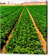 Young Lettuce Canvas Print