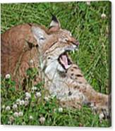 Young Lynx Yawning Canvas Print