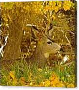 Young Male Buck Canvas Print