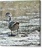 Young Male Wood Duck Canvas Print