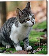 Young Manx Cat Canvas Print