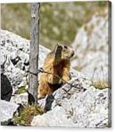 Young Marmot Canvas Print