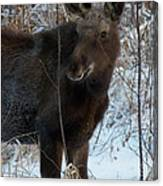 Young Moose 4 Canvas Print