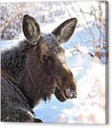 Young Moose Resting Canvas Print