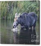 Young Moose Canvas Print