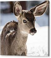 Young Mule Deer Fawn In Yosemite National Park Canvas Print
