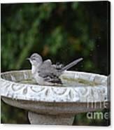 Young Northern Mockingbird In Bird Bath Canvas Print
