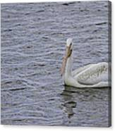 Young Pelican Canvas Print