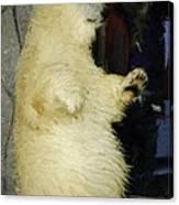 Young Polar Bear And Boy  Canvas Print
