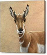 Young Pronghorn Canvas Print