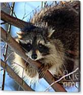 Young Raccoon In Birch Tree Canvas Print