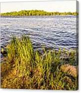 Young Reeds  Canvas Print