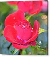 Young Rose Of November Canvas Print