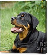 Young Rottweiler Canvas Print