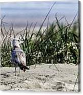 Young Seagull No. 1 Canvas Print
