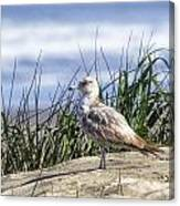 Young Seagull No. 2 Canvas Print