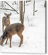 Young Spike Buck And Doe Whitetail Deer In Snowy Woods Canvas Print