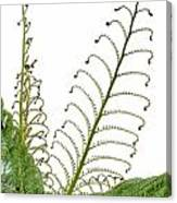 Young Spring Fronds Of Silver Tree Fern On White Canvas Print