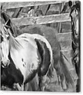 Young Stallions Canvas Print