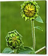 Young Sunflowers Canvas Print