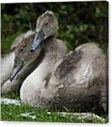 Young Swans Canvas Print