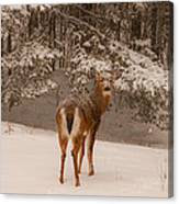 Young White Tailed Buck In Winter Canvas Print