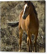 Young Wild Mare   #0307 Canvas Print