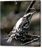 Young Woodpecker Canvas Print
