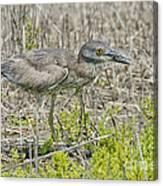 Young Yellow-crowned Night Heron Canvas Print