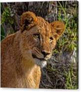 Your Lioness Canvas Print
