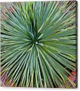 Yucca 2 Canvas Print