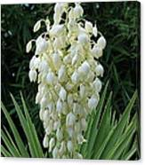 Yucca Blossoms Canvas Print