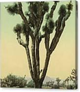 Yucca Cactus At Hesperia California Canvas Print