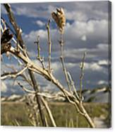 Yucca Pod Canvas Print