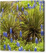 Yucca With Bonnets Canvas Print