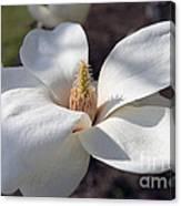 Yulan Magnolia  4591 Canvas Print