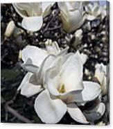 Yulan Magnolia  4753 Canvas Print