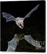 Yuma Myotis Bat Canvas Print