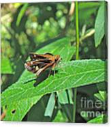 Zabulon Skipper Butterfly - Poanes Zabulon - Female Canvas Print