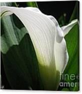 Zantedeschia Named Crystal Blush Canvas Print