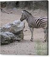 Zebra And Rock Canvas Print
