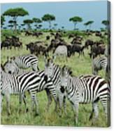 Zebra And Wildebeest Grazing Masai Mara Canvas Print