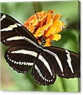 Zebra Butterfly Beauty 1 Canvas Print