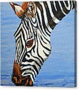 Zebra Drink Canvas Print