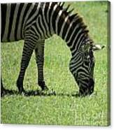 Zebra Eating Grass Canvas Print
