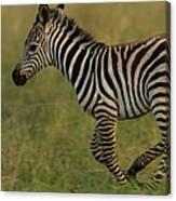 Zebra Foal Running For Joy Canvas Print
