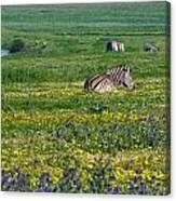 Zebra Heaven.. Canvas Print