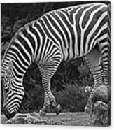 Zebra In Black And White Canvas Print